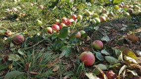 CLJ & jus de pommes made in Steiweri !